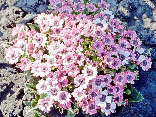 цинерария цветочная, цветы для сада, фото и названия