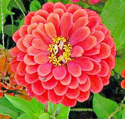 цинния, цветы для сада, фото и названия