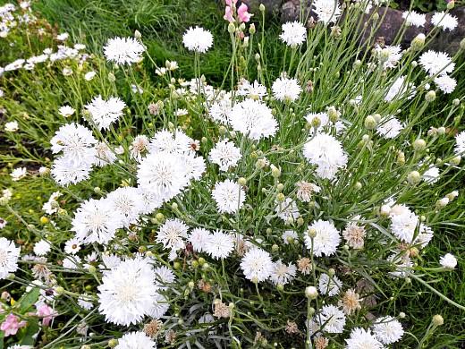 василек белый, цветы для сада, фото и названия