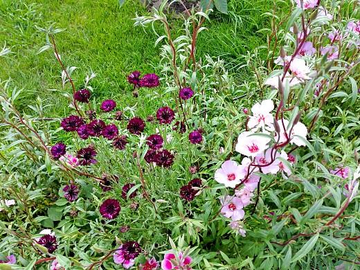 василек черный и годеция, цветы для сада, фото и названия