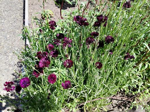 василек черный, цветы для сада, фото и названия