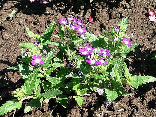 вербена, цветы для сада, фото и названия