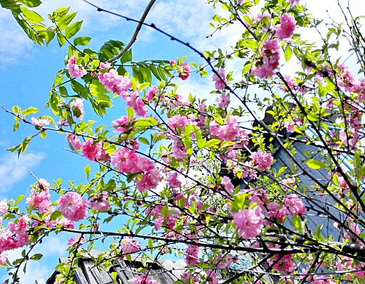 японская вишня сакура, цветы для сада, фото и названия