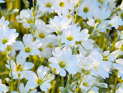 ясколка, цветы для сада, фото и названия