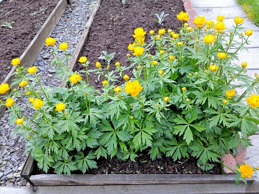 жарки, цветы для сада, фото и названия