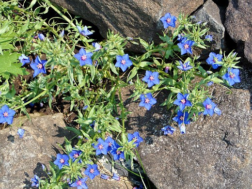 Цветок анагаллис и его выращивание