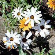 цветы диморфотека, посадка и уход 2